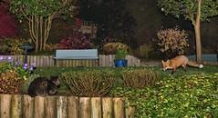 Mutual Respect (Explored) (tsbl2000) Tags: fox cat garden nikond810 nikon2870 night flash autumn