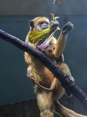 Cleveland Metroparks Zoo 06-05-2014 - Black Howler Monkey 8 (David441491) Tags: clevelandmetroparkszoo blackhowlermonkey monkey baby