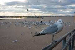 Sea Gull (dtanist) Tags: nyc newyork new york city newyorkcity sonya7 contax zeiss carlzeiss carl planar 45mm brooklyn coney island beach sand sea gulls seagulls birds