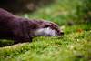 IMG_2110 (TvdMost) Tags: bwc britishwildlifecentre eurasianotter europeanotter europeseotter lutralutra visotter otter