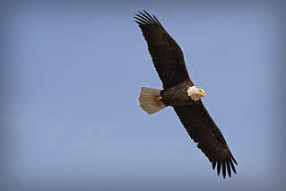 Conowingo Eagle (Explored 10/31/16 and 11/1/2016--Thank You!!)