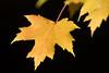 Maple leaf (Niquinho) Tags: winkworth autumngold