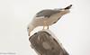 Yellow-legged Gull  /Medelhavstrut (Larus michahellis) - Essaouira (Hans Olofsson) Tags: 2016 essaouira marocko morocco medelhavstrut gull trut