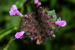 Macro details (LaDani74) Tags: wildflower closeup nature floral fields
