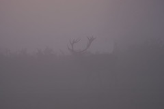 Things That Go Bump In the Fog... (paulinuk99999 - tripods are for wimps :)) Tags: paulinuk99999 fog mist early morning start november 2016 red deer stag sal70400g