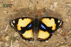 The Yellow Pansy  -  (Antonio Giudici Butterfly Trips) Tags: thailand chiangdao chiangmai butterflies lepidoptera theyellowpansy male  nymphalidae nymphalinae junoniahiertahierta