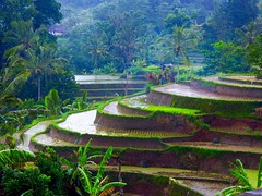 Uit het archief ; Ricefields in desa Jatiluwih . (Franc Le Blanc .) Tags: panasonic lumix indonesia bali ricefields jatiluwih paddyfields werelderfgoed