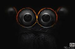 Hasarius adansoni, Male (Yousef Al-Habshi) Tags: jumping spider hasarius adansoni uae local abu dhabi eyes nikon small world