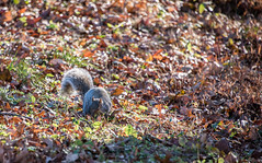 Squirreling away (Dotsy McCurly) Tags: squirrel squirreling away food leaves autumn colors nature beautiful bokeh dof nikon d750 nj