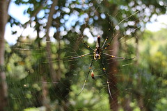 Tropical Spider (KENO Photography) Tags: adult animal arachnid bird bright cape color creepy dangerous eater female forest giant gold golden green insect jungle large legs light nature nephila net network one orange orb outdoor predator scary silk spider sun trap tribulation tropical venom weaver web wild wildlife yellow zoology
