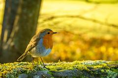 Robin  (1 of 1) (jpphotographycc) Tags: winter cold lake landscape lochlomand nature robin scotland sunny