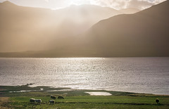 Sunbath for Icelandic Sheep (benoitgx) Tags: light mountains sheep sun iceland islande alpha6000 sony fjord