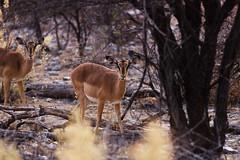 Black Faced Impala (C McCann) Tags: black faced impala namibia africa animal etosha
