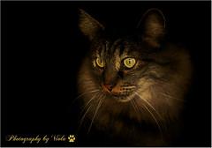 My sweet boy Puki (Simply Viola) Tags: catportrait cat pet feline animal gato katzen felino