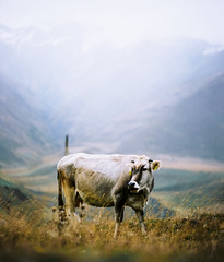 (andrey_kireev) Tags: georgia mountains mf pentax6x7 smctakumar150mmf28 filmfilmforever film analog analogue autumn ektar100 kodak cow outdoor 67 6x7 travel grass dof
