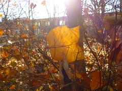 hängengeblieben (Jörg Paul Kaspari) Tags: trier palastgarten liriodendron tulipifera liriodendrontulipifera tulpenbaum herbstfärbung autumncolor hängengeblieben blatt leaf herbst autumn fall