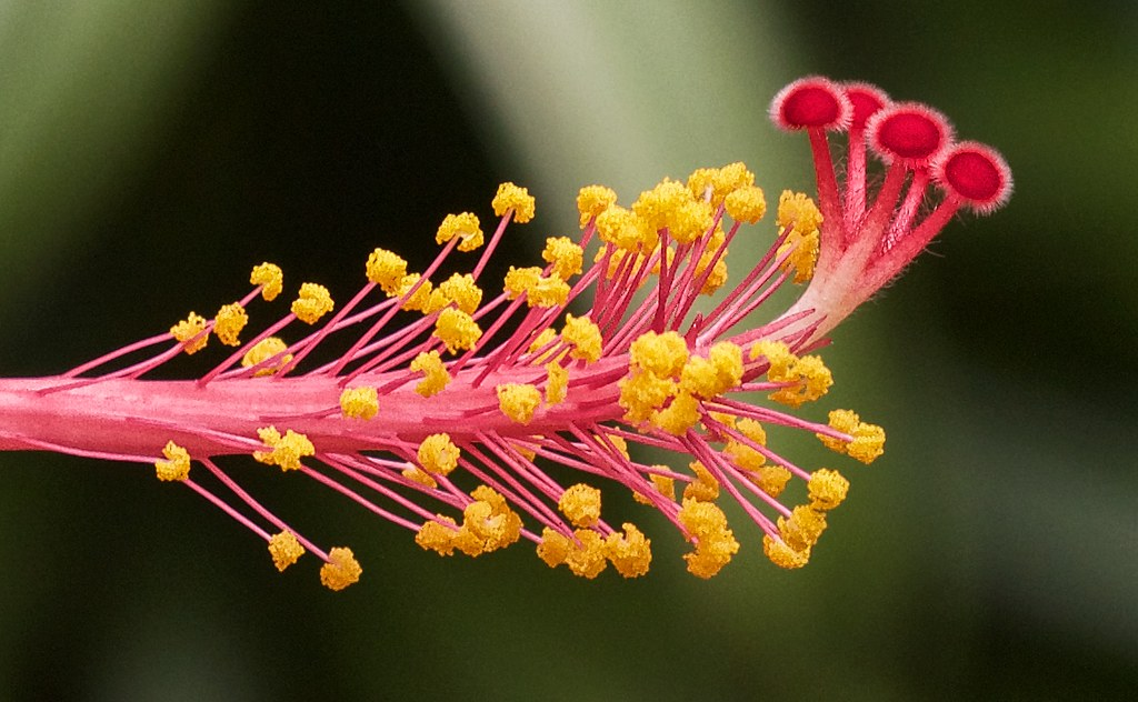 The Worlds Newest Photos Of Malvaceae And Stamen Flickr Hive Mind