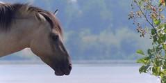 Koninks paarden (mia_moreau) Tags: sony nederland natuur limburg paard paarden loh zuidlimburg natuurgebied molenplas konikpaarden zoogdier koninks sonyslta58