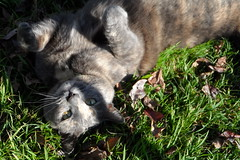 Josie wants a belly rub (Matilda&Charlie&Josie ~ MCJ) Tags: cat josie 9yo greybluecreamtortoiseshell