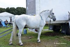 Cheval de trait PERCHERON (claude 22) Tags: caballo cheval brittany bretagne breizh concours cavalli cavallo cavalo chevaux paard paarden corlay attelage άλογο chevauxdetrait