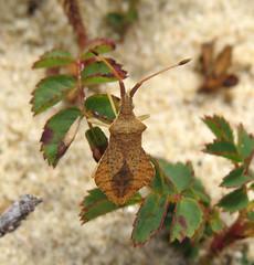 Syromastus rhombeus - Les Blanches Banques Dunes, Jersey 2015d (Steven Falk) Tags: steven falk rhombic leatherbug rhombeus syromastus