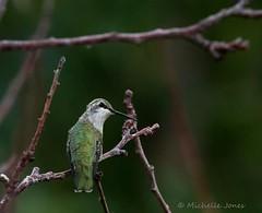 August 26, 2015 - A Black-chinned Hummingbird visits Thornton. (Michelle Jones)