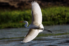 Great Egret (erica.hill3) Tags: nature birds wildlife great baths sutro egret