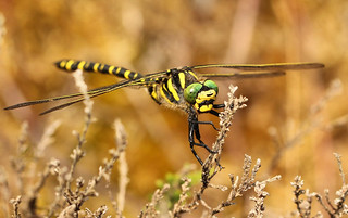 Gold Ringed Dragonfly. (2 of 2 views) (Explored 040915)