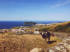 Ribeirinha (MayU Mi) Tags: portugal terceira vache azores iphone ocan ribeirinha montebrasil vscocam