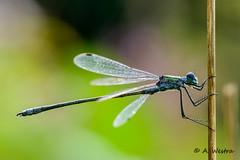 emerald damselfly (a3aanw) Tags: macro nikon nikkor damselfly d800 juffer emeralddamselfly 105mmf28gvrmicro lestessponsa nikkor105mmf28gvrmicro gewonepantserjuffer