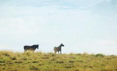 Depois da chuva (Eduardo Amorim) Tags: brazil horses horse southamerica brasil criollo caballo cheval caballos cavalos pelotas pferde cavalli cavallo cavalo pferd riograndedosul pampa hest hevonen campanha brsil chevaux  amricadosul hst  amriquedusud   sudamrica suramrica amricadelsur  sdamerika crioulo caballoscriollos criollos   costadoce americadelsud  crioulos cavalocrioulo americameridionale caballocriollo eduardoamorim cavaloscrioulos