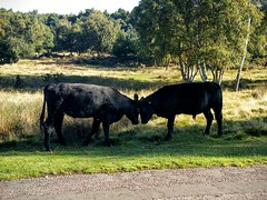 Bullock fighting (Bruce Stokes) Tags: park animal cow bullock suttoncoldfield suttonpark octobersun samsungnoteiv