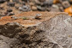 Greater Earless Lizard (Stephen J Pollard (Loud Music Lover of Nature)) Tags: greaterearlesslizard lizard lagarto lagartija lagartijasordamayor reptile réptil closedcanyon bigbendranchstatepark nature naturaleza fauna wildlife