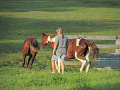 Herding them in so Teresa can lock the gate (debstromquist) Tags: family trees horses mountains grass gates kentucky ky barns hills pastures ponies paints lateafternoon barbourville pintos quarterhorses upperpasture teresasplace backpasture
