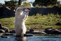 BLIJDORP20151001_©arievantilborg-9613 (Arie van Tilborg) Tags: blijdorp polarbear ijsbeer rotterdamzoo ijsberen arievantilborg