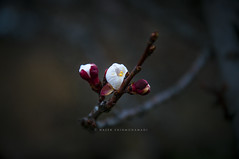 IN MY DREAM (naser.shirmohamadi) Tags: flower spring dream bloom naser   shirmohamadi