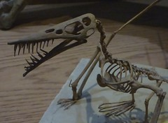 Ybptr_2b (gvgoebel) Tags: fossil reptile pterosaur