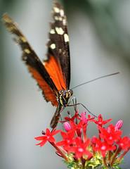 Heliconius sp JVA_0090 (mrjean.eu) Tags: sara sp atlas demi insectes attacus papillons heliconiinae deuil heliconius phaetusa dryatula