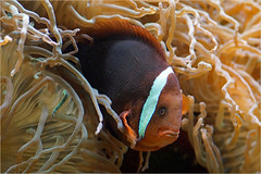 Red tomato clownfish (Foto Martien) Tags: china fish holland color colour macro netherlands dutch japan indonesia thailand zoo aquarium singapore southeastasia nemo colorfull philippines nederland taiwan vietnam clownfish fishtank malaysia tropical vis anemonefish southchinasea rhenen seaanemone tropicalfish kleurrijk macrophoto dierentuin ouwehandsdierenpark eastasia dierenpark kleuren symbiosis polychrome geotagging saltwaterfish bont tropisch westernpacific veelkleurig symbiose kleurig zeeanemoon seafish ryukyuislands actiniaria westernpacificocean tomatoclownfish amphiprionfrenatus tomatoanemonefish fireclown redclownfish zeevis tropischevis ouwehandszoo martienuiterweerd bridledclownfish weisbindenglhkohlenanemonenfisch rodeanemoonvis minoltamacro100mm28mm fotomartien slta77v a77v sonyalpha77 roteranemonenfisch geotaggedwithgps poissonclownrouge amfiprionpomidorowy blackbackanemonefish