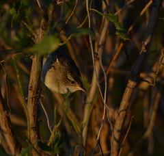 Marsh Wren (anthonyvanschoor) Tags: marsh wren blackwaternationalwildliferefuge nikond7100 tamron150600mmtelephotolens