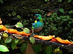 """Tangara seledon"" (Sereiazinha Si) Tags: brazil bird praia beach animal brasil fruit ubatuba sopaulo papaya pssaro fruta ave behavior tangara mamo alimentao tangaraseledon comportamento sarasetecores"