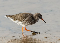 Redshank (Dale Ayres) Tags: elements