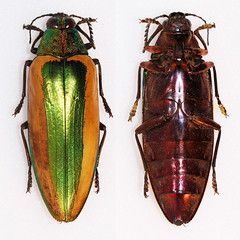 Chrysochroa limbata (Bennyboymothman) Tags: buprestidae chrysochroa taxonomy:binomial=chrysochroalimbata