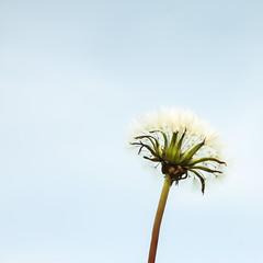 Minimalist Flower Wish (Rustika Photography) Tags: flower whimsy dandelion dreamy minimalist