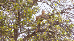 20151110_Shinde_0622.jpg (eLiL1860) Tags: leopard botswana okavango tierwelt safari2015