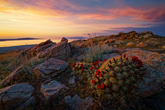 "May Flowers (Scott Stringham ""Rustling Leaf Design"") Tags: hello sunset lake nature water canon landscape fire photography islands utah photo ut sand escape looking desert graphic wind earth air salt shoreline greatsaltlake onceuponatime photograph passion land lookatme dslr gsl greatbasin lakebonneville lettherebelight stringham inlandsea mayflowers claretcupcactus stansburyisland salinity myotherhome getoutside bedifferent americasdeadsea endorheic bettereveryday buymeabeer scottstringham canon7d rustlingleafdesign rustlingleaf wwwrustlingleafdesigncom itsbigenoughforall landofsalt ourgreatsaltlake ourinlandsea postcardfromthegreatsaltlake dreamingofsalt stansburyislandclaretcupcactuswithsunset"