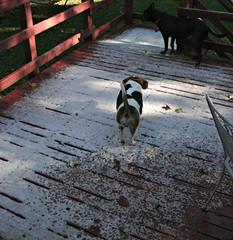 Goodbye! (cizauskas) Tags: dog beagle virginia journal fallschurch cizauskas