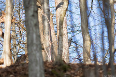 Pic noir (Cyril Htz) Tags: france birds aves alsace oiseaux faune hautrhin blackwoodpecker dryocopusmartius piciformes picidae freland picidés picnoir