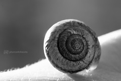 b/w challenge 363 / 365 (photos4dreams) Tags: bw white black walk snail sw schnecke challenge schwarz spaziergang weis schneckenhaus photos4dreams photos4dreamz p4d