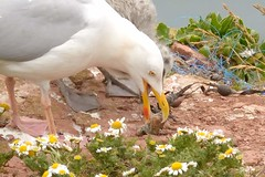 DSC_9238 Zilvermeeuw : Goeland argente : Larus argentatus : Silbermowe : Herring Gull